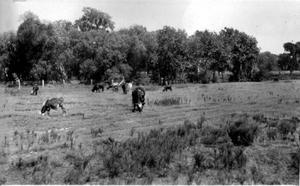 Primary view of object titled '[Photograph of nine cows grazing in a field]'.