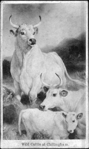 Primary view of object titled '[Three wild cattle]'.