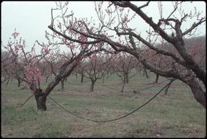 Primary view of object titled '[Peach Orchard in Stonewall, Texas]'.
