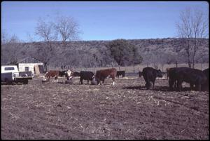 Primary view of object titled '[Cattle on the Clifton Fielder Ranch]'.