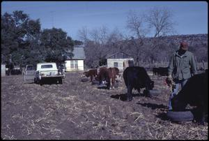 Primary view of object titled '[Feeding Cattle on the Clifton Fielder Ranch]'.