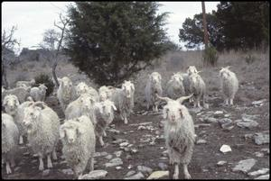 Primary view of object titled '[Herd of Goats]'.