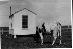 Primary view of object titled '[A black and white cow near a small white building]'.