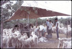 Primary view of object titled '[Goat Shearing]'.