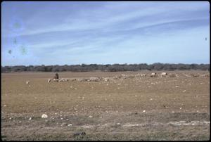 Primary view of object titled '[Sheep on Rode Ranch 1]'.