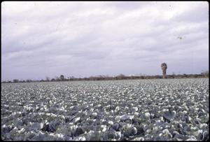 Primary view of object titled '[Cabbage Field Near Edinburg, Tx]'.