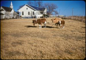 Primary view of object titled '[Cattle Near St. Matthew Lutheran Church]'.