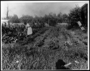 Primary view of object titled '[A woman picking vegetables in a garden]'.