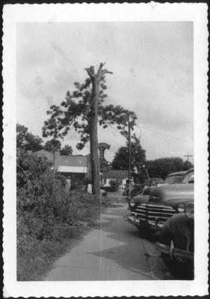 Primary view of object titled '[A tall pecan tree by a sidewalk]'.