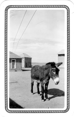 "Primary view of object titled 'Burro named ""Gansole""'."