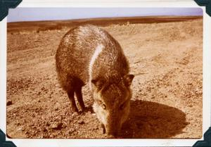 Primary view of object titled 'Javelina, America's Only Wild Pig'.