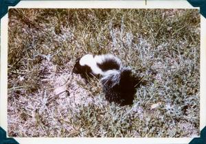 Primary view of object titled '[Skunk in the Grass]'.
