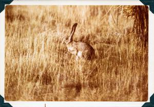 Primary view of object titled 'Western Jack Rabbit'.