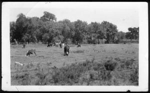 Primary view of object titled '[Nine cows and calves grazing in a pasture]'.