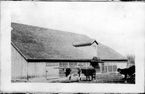 Primary view of object titled '[Cattle in front of a barn at George Ranch]'.