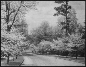 Primary view of object titled '[A street lined with Dogwood trees]'.