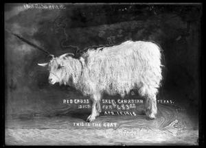 Primary view of object titled '[Goat at Red Cross Sale]'.