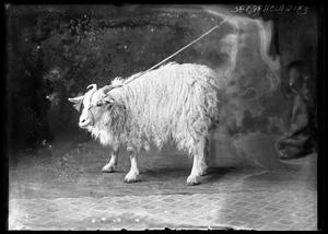 Primary view of object titled '[Portrait of Goat]'.